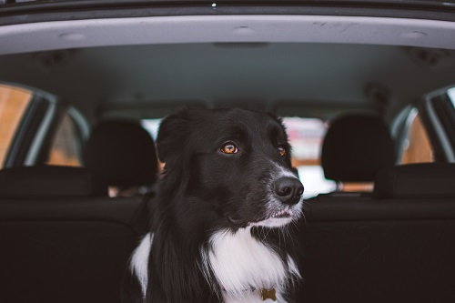 Black and white dog in rear of car