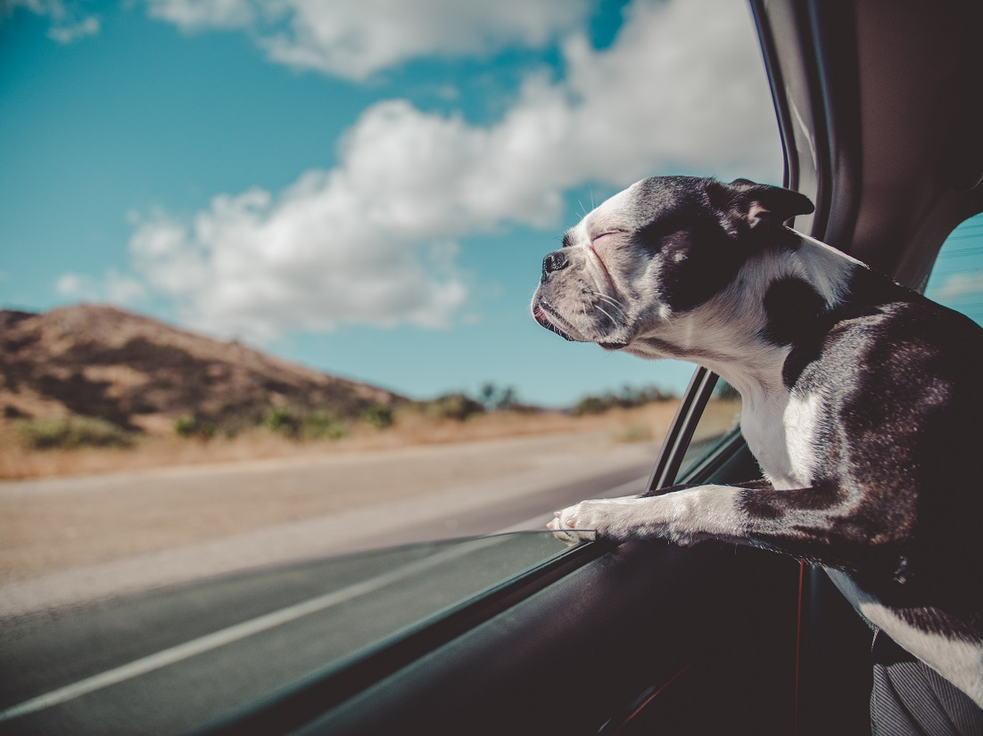Dog not tethered in moving car