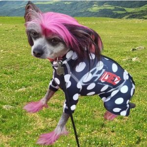 Chinese Crested Dog Anxiety Suit